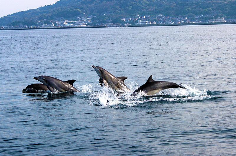 クルーザーと並んで泳ぐイルカたち